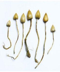 Liberty Cap Mushrooms